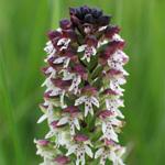 NGP Bienwald Orchidee
