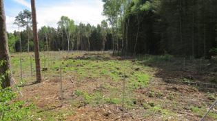 Flatterulmen-Anpflanzung